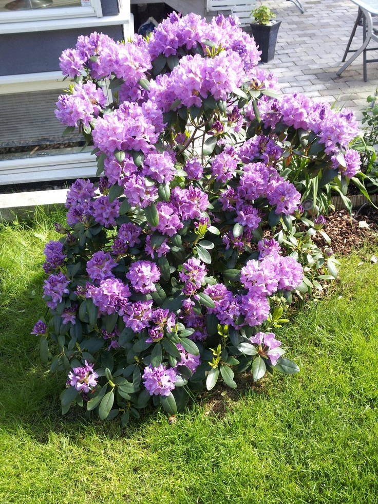 My wonderful Rhododendron flowering!