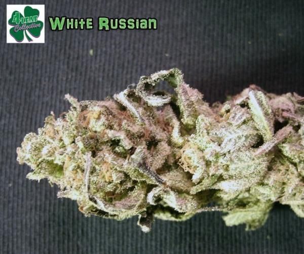 White Russian Marijuana Strain Review And Pictures