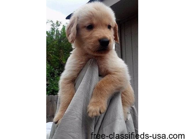 listing Stunning Male and Females AKC GOLDEN RET... is published on Free Classifieds USA online Ads - http://free-classifieds-usa.com/for-sale/animals/stunning-male-and-females-akc-golden-retrievers_i39264