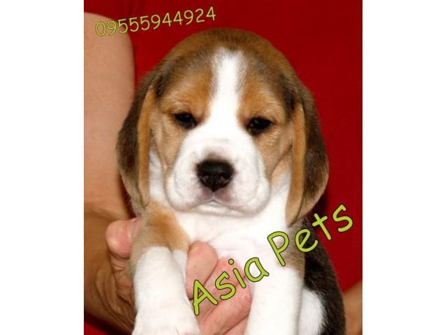 Beagle Puppy Price In Bhubaneswar Beagle Puppy For Sale In