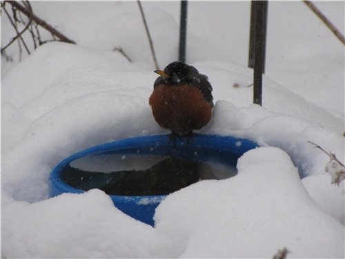 A heated birdbath makes drinking water available even in freezing temperatures. Photo and tip courtesy Carole Brown of Ecosystem Gardening. Learn more about attracting birds in winter here: http://www.landscapingnetwork.com/plants/winter-interest.html