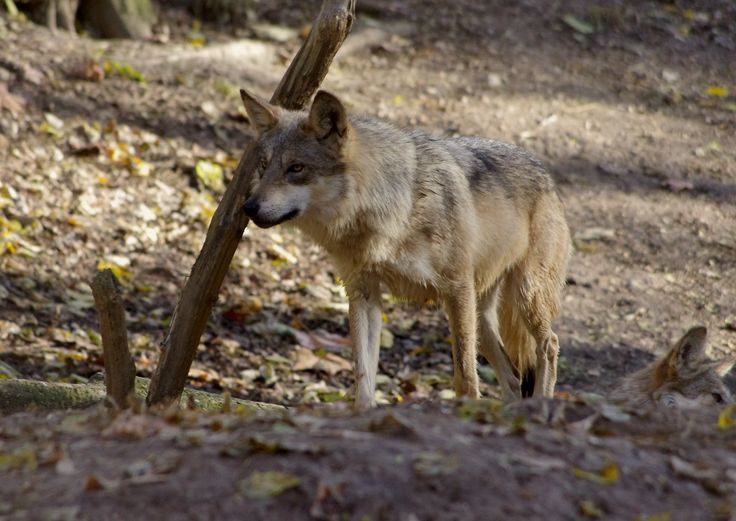 A look at the endangerment of the wolves in the world today