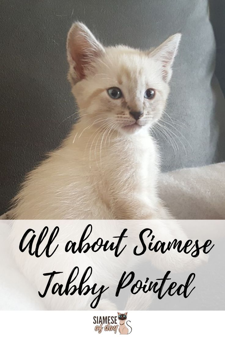 All About Tabby Pointed Siamese Cat In 2020 Siamese Cats Siamese Tabby