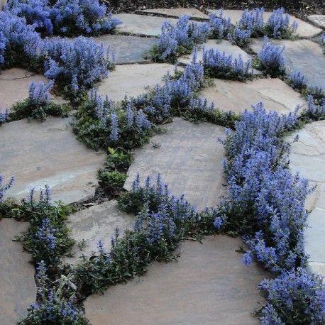 Sempreverde che forma fitti tappeti di foglioline verdi scure macchiate in modo casuale di rosa, crema e porpora, emette bei fiori blu a spighe piramidali a fin