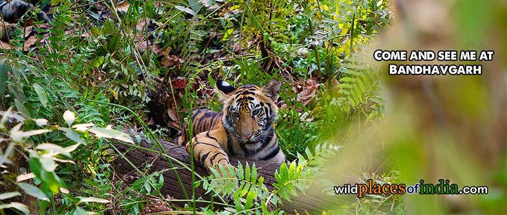 Come and see me at Bandhavgarh. http://wildplacesofindia.com/bandhavgarh-national-park.html