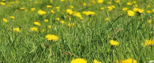 Yabani otları doğal bir şekilde ortadan kaldırma - Bahçe Bakimi Aletleri, Bahçecilik İpuçlari, Çim Bakimi