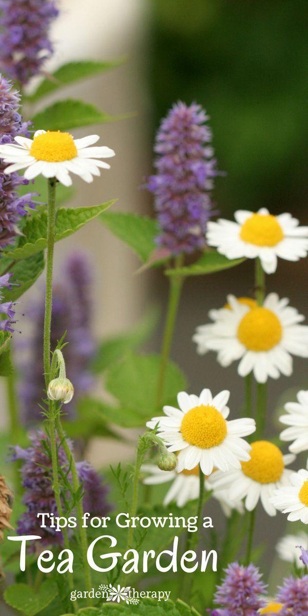 How to Grow a Tea Garden #gardentherapy #teagarden #tea #gardening #herbaltea