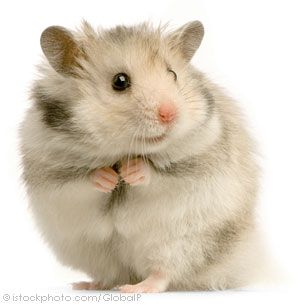 looks just like my hamster, Agamemnon - named so because he is very fiery and always trying to fight people lol