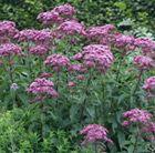 A tall, late flowering perennial
