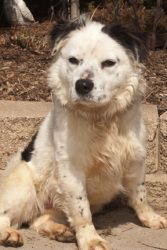Cowgirl is an adoptable Cattle Dog Dog in Mishawaka, IN. Cowgirl came to us from a kill shelter in Kentucky where her time was up by no fault of her own. Somebody spent some time with her & she a an i...