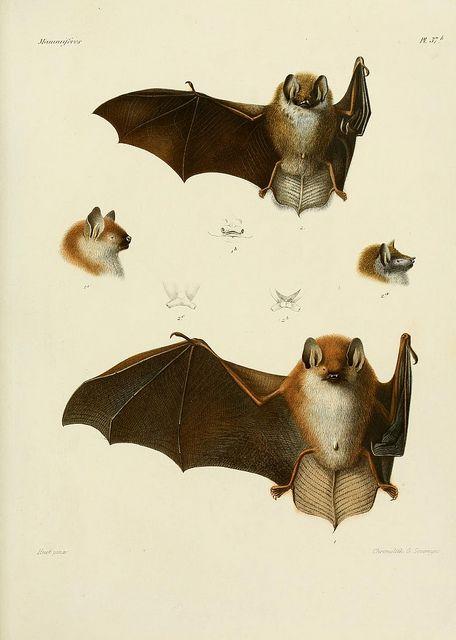 n224_w1150 | BATS! | Illustration, Mammals, Art