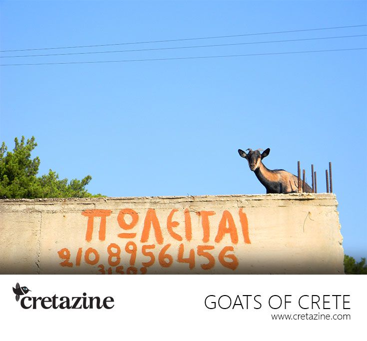 Goat for Sale! :-) Wanna buy?http://cretazine.com/en/