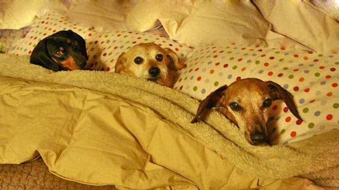 Dog Tucked In Bed Adopted