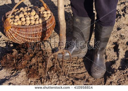 Man plants potatoes in the spring. Basket with seed potatoes and manure. Landing of potatoes. Agriculture. - stock photo