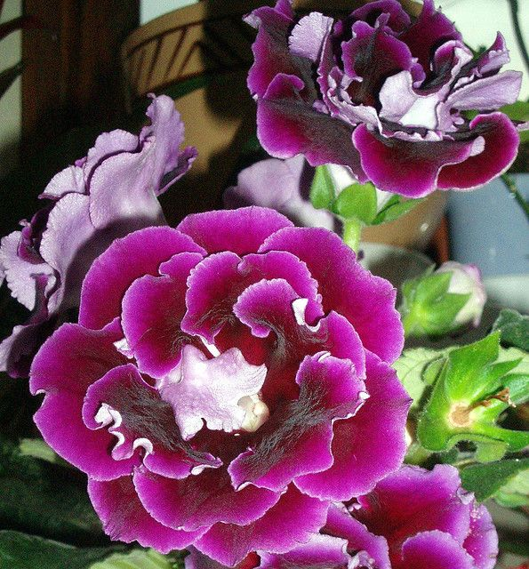 Tiny Home Designs: 63 Best Gloxinia Images On Pinterest