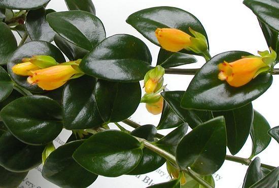 nematanthus - Hawaiian Jade