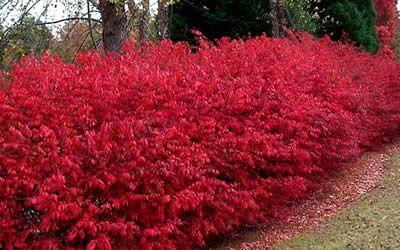 Burning Bush Euonymus