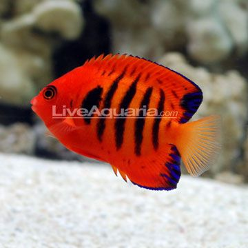 Flame Angelfish (Centropyge loriculus) Minimum Tank: 70 gallons   Care: Moderate, Temperament: Semi-aggressive   Reef Compatible: With Caution   Water Conditions: 72-78° F, dKH 8-12, pH 8.1-8.4, sg 1.020-1.025   Max. Size: 4""