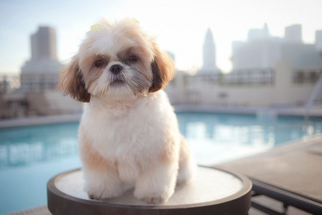 flufftastic shih tzu flickr photo sharing cute animals pinterest puppys so cute and. Black Bedroom Furniture Sets. Home Design Ideas