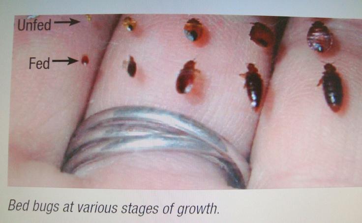 bed bugs bed bugs education health Bed Bugs EEK
