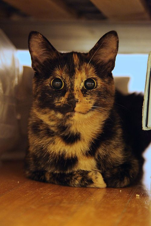 Awww, she's a tortie like Knuckles. But look! Her color goes right down the middle of her face! I wanna cuddle her.