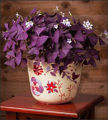 Oxalis Triangularis (Purple Shamrocks) in a Birds, Blooms and Butterflies Pot - FREE Shipping!  $29.95 http://www.easytogrowbulbs.com/p-1426-oxalis-triangularis-purple-shamrocks-in-a-birds-blooms-and-butterflies-pot-free-shipping.aspx