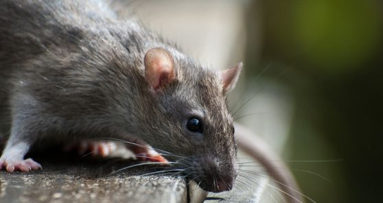 Kensington Pest Control eliminate all vermin and bug types in Kensington, Notting Hill, Knightsbridge, Holland Park and Bayswater. Specialising in rats, bed bugs, mice, cockroaches, pigeons and wasps.