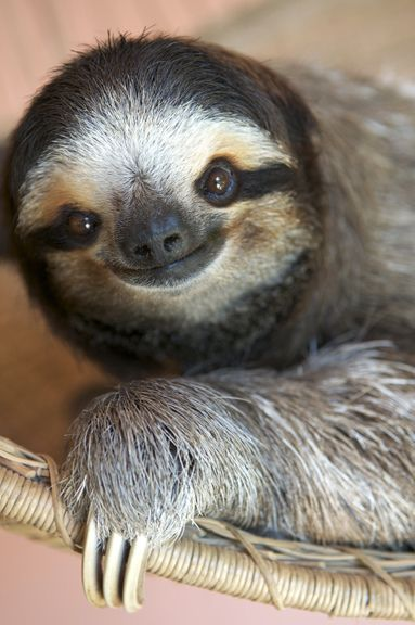 Smiling Sloth.: Wild Life Animal, Animal Kingdom,  Bradypus Tridactylus, Smile Animal, Smile Sloths, Sloths Smile, Happy Sloths,  Ai, Three-To Sloths