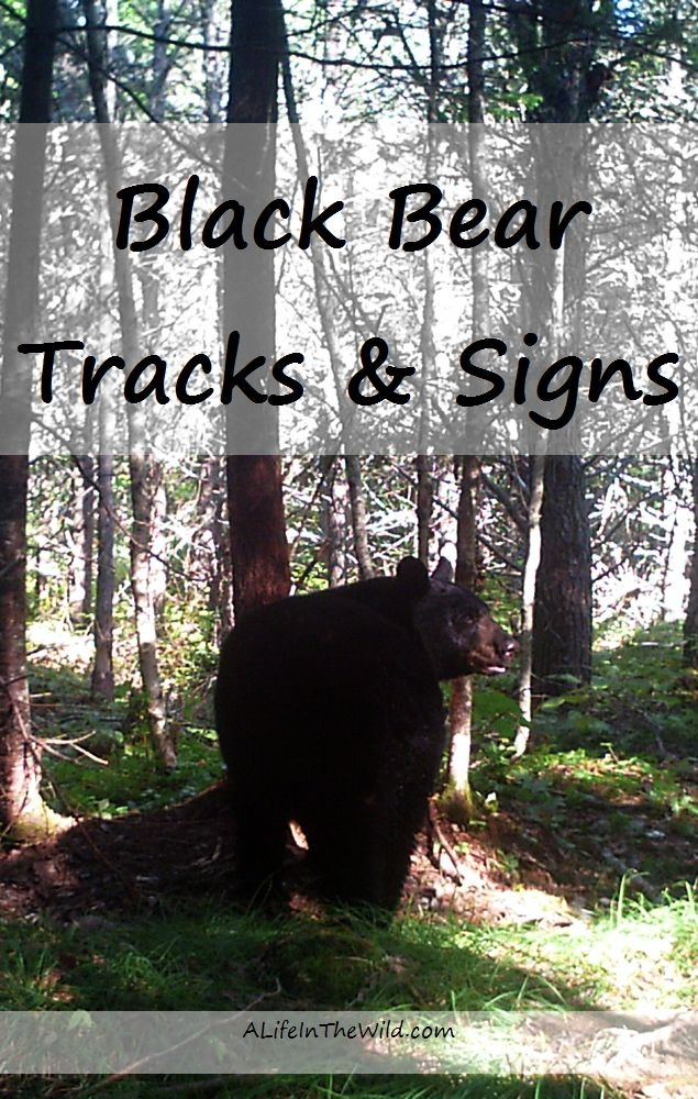 Do you recognize black bear tracks and signs when you find them? These photos will help you understand what you've seen.