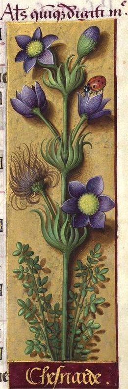 Chesnarde - Alius quinque digiti me (Pulsatilla vulgaris Mill. = anémone pulsatille) -- Grandes Heures d'Anne de Bretagne, BNF, Ms Latin 9474, 1503-1508, f°130r