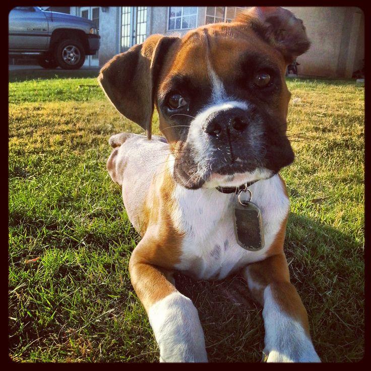 #boxer #dog #boxerdog