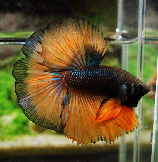 17 best images about love the bettas on for Betta fish together