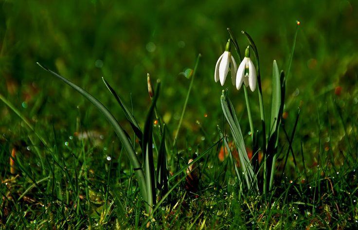 """Schneeglöckchen, weiß Röckchen. ... Ach nein, erstens geht das Lied anders und zweitens hat sich das wohl mit dem """"weißen Röckchen"""", sprich Schnee, für dieses Jahr bei uns. Aber schön anzuschauen im Garten sind sie trotzdem, oder ? :-)"""