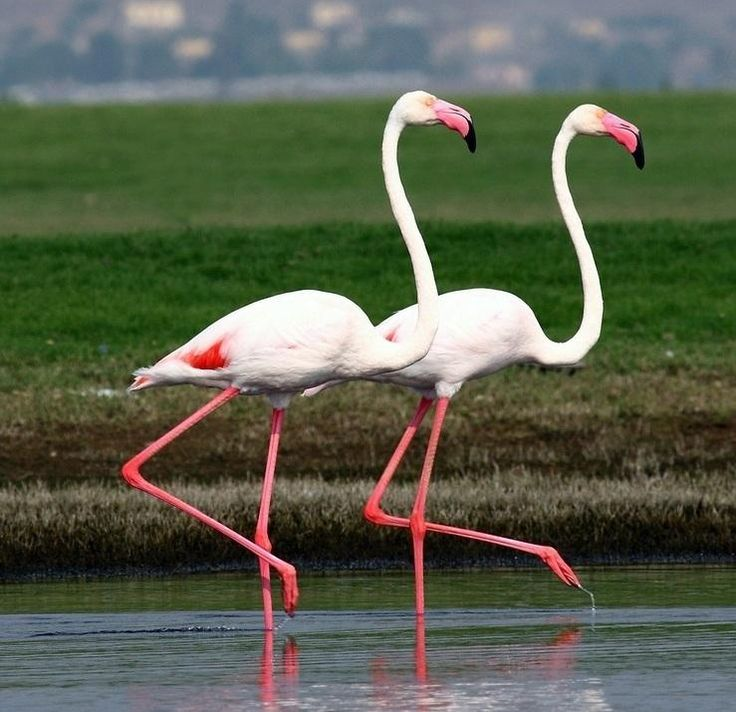 ...Flamingos in step...