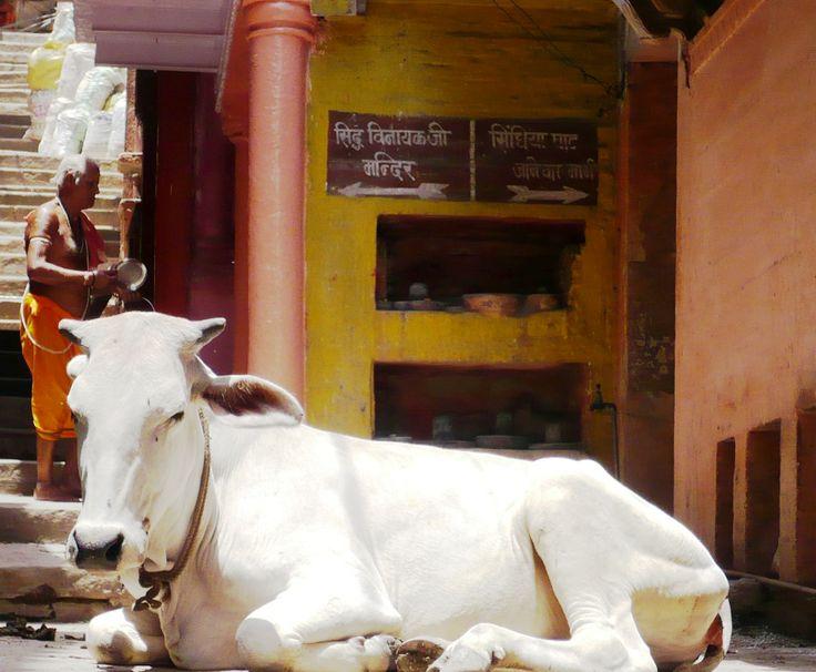 Holy Cow!! ~ Varanassi, India
