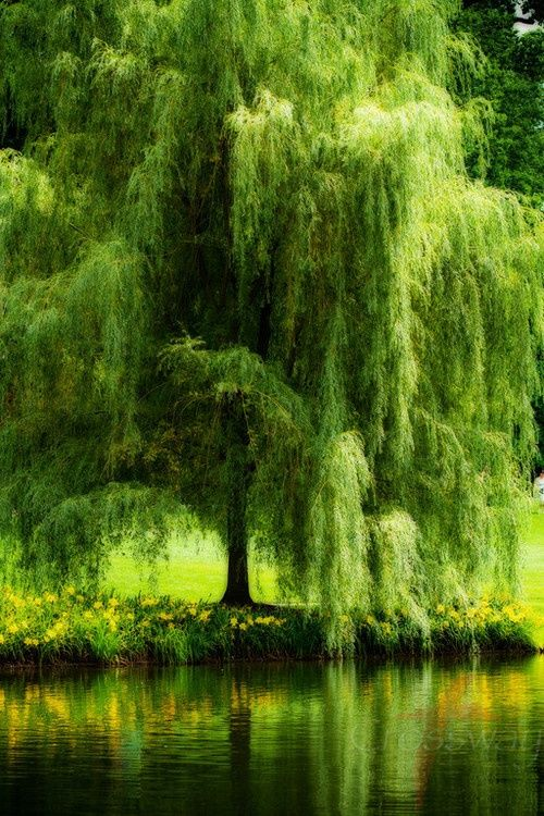 ♔ Enchanted Fairytale Dreams ♔: Weepingwillow, The Ponds, Yard, Willow Trees, Green, Weeping Willow, Beautiful, Places, Favorite Trees