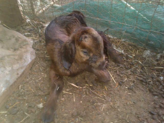 New kid 15 min old, one of Triplets, has a brother & sister, from brown stud ewe.