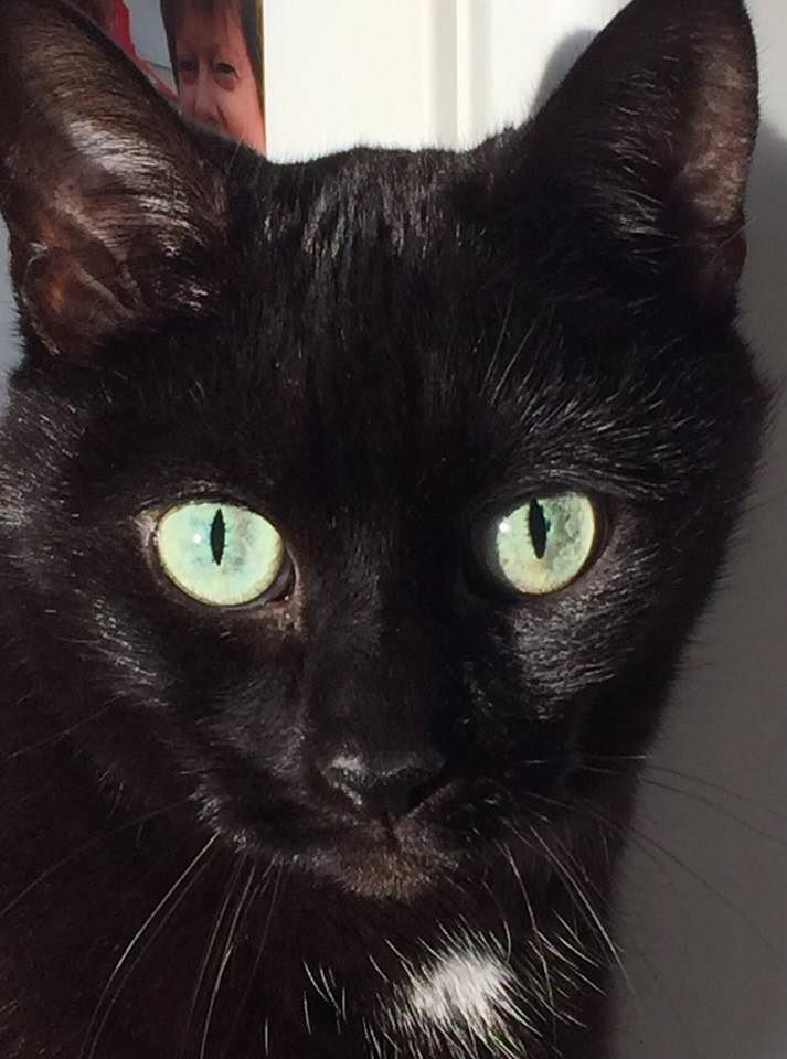My Beautiful Sooty She S 12 This December Gorgeous Cats Cat Care Cat Fleas
