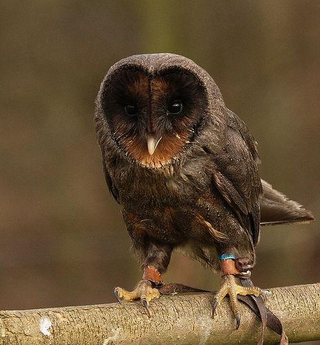 Melanistic Barn Owl  (Opposite of Albino)