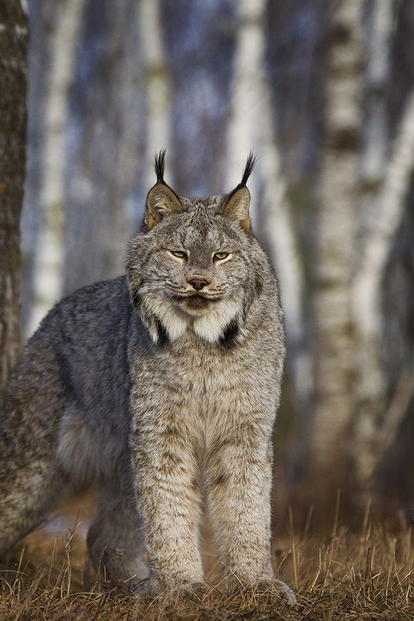 This Lynx has got his puffy winter coat on all set for winter!!