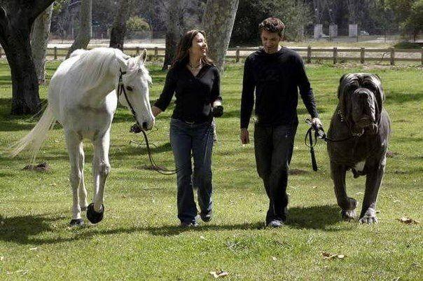 Неопалитанский мастиф - самая большая собака в мире.