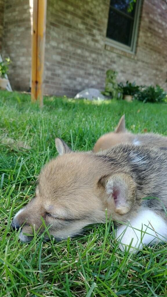The breeder sent us this picture of our adorable Pembroke Welsh Corgi and my wife and I are getting utterly impatient to bring her home. :)