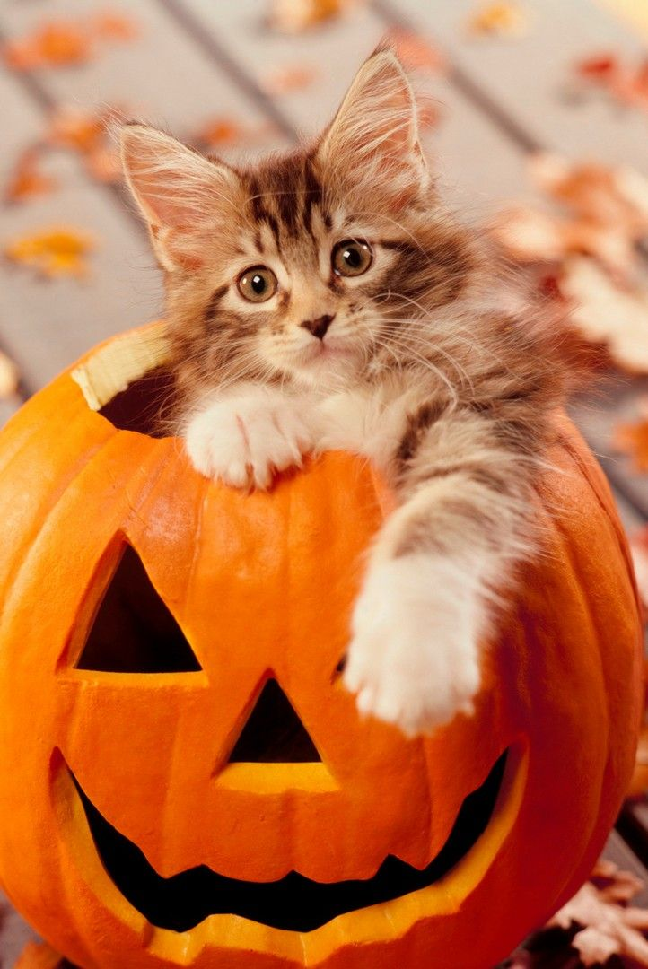 Cute Cat Halloween Iphone Wallpaper With Images Halloween Cat
