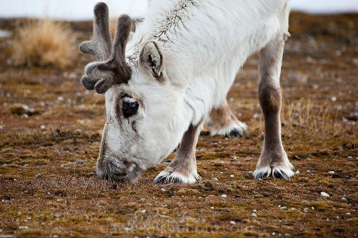 Svalbard Reindeer, Rangifer tarandus platyrhynchus in Ny-Alesund, Svalbard. Copyright Dave Walsh
