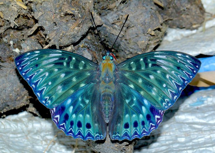 butterfly ombre blue green