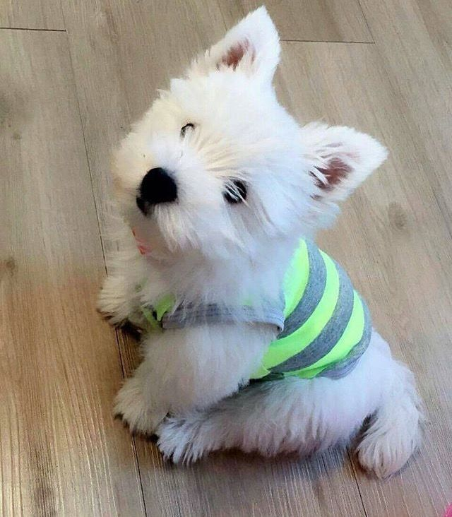 Do It Yourself Home Design: 9 Sings Your Westie Thinks He's Boss