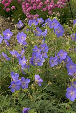 Johnson's Blue Geranium, bought Fall 2011, and 3 lrg pots more in Fall 2012, sheer back immediately after flowering to get more flowers, H. 35-45 cm, will spread wider.