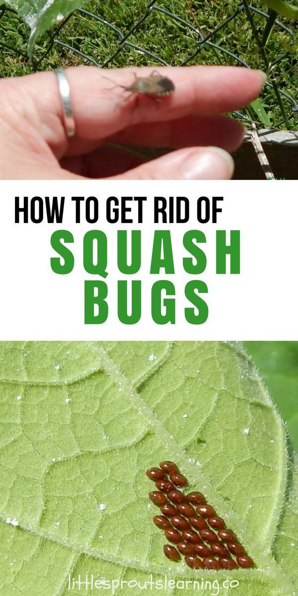 How To Get Rid Of Squash Bugs Squash Bugs Home Vegetable Garden