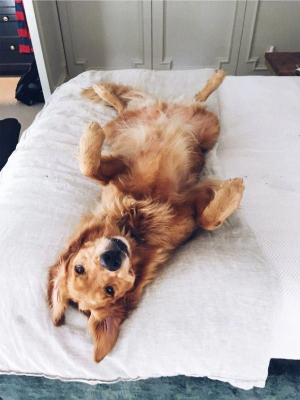 Cute Golden Retriever Puppy Dog Laying In Bed