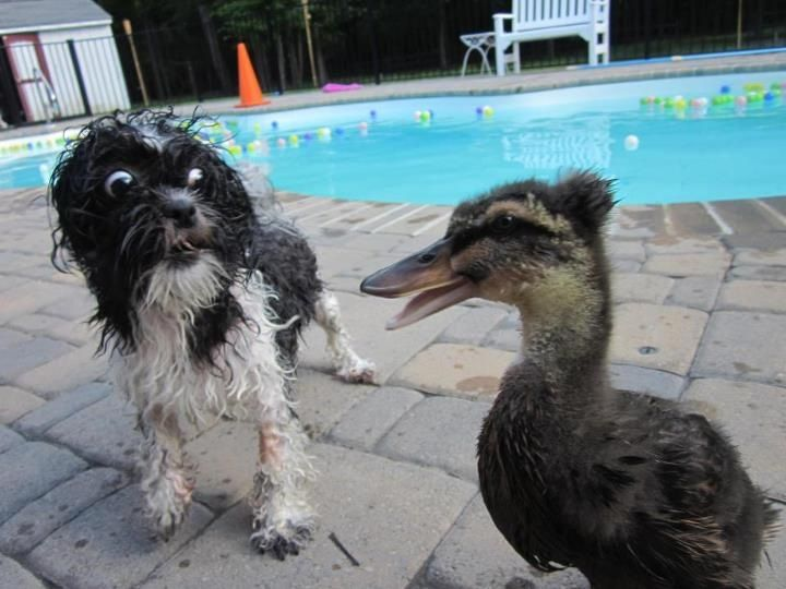 What the duck?!Animal Pics, Funny Pics, Funny Pictures, Ducks, Funny Stuff, Animal Friends, Funny Animal, Animal Planet, Dogs Face